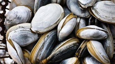 Where Is the Mantle Located in the Clam?