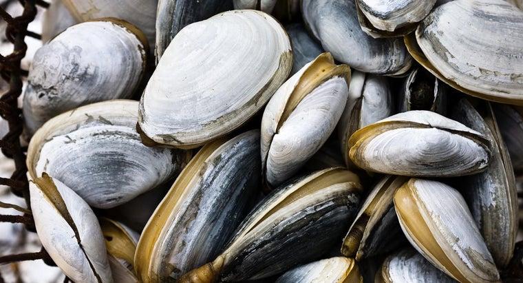 mantle-located-clam