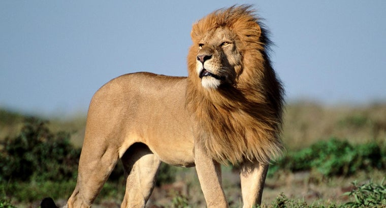 many-african-lions-wild