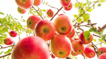 How Many Apples Do Apple Trees Produce?