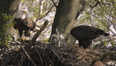 How Many Babies Can an Eagle Have?