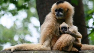 How Many Babies Can a Monkey Have at One Time?