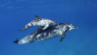 How Many Babies Do Dolphins Have?