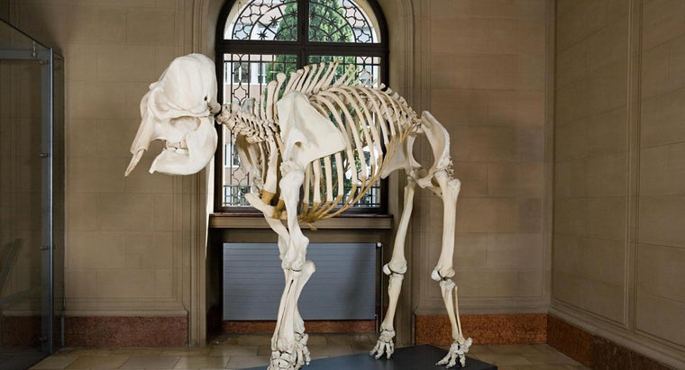 many-bones-african-elephant-skeleton