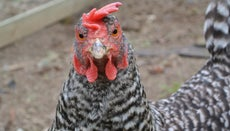 How Many Breeds of Chickens Are There?