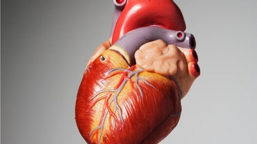 How Many Chambers Does the Human Heart Have?