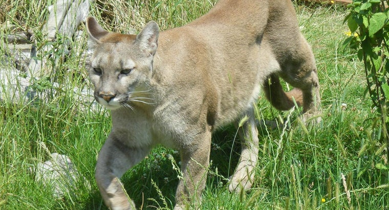 many-cougars-left-north-america
