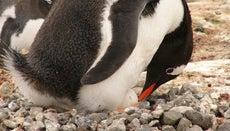 How Many Eggs Do Penguins Lay?