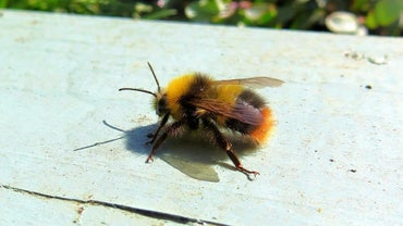 How Many Legs Does a Bee Have?