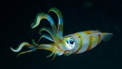 How Many Legs Does a Squid Have?