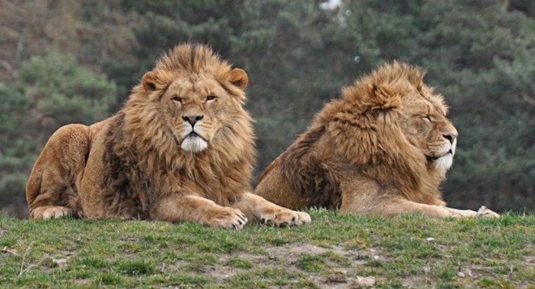 many-lions-world