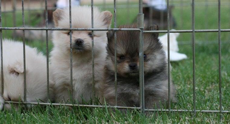 many-puppies-pomeranians-litter