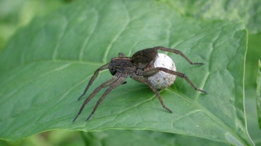 How Many Spiders Are in an Egg Sac?