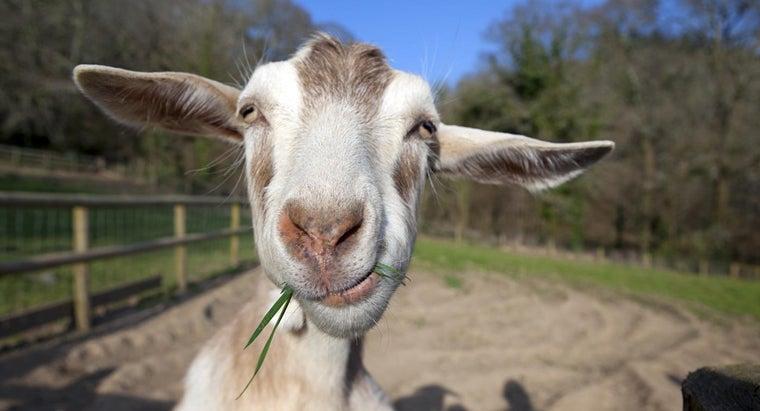 many-stomachs-goat