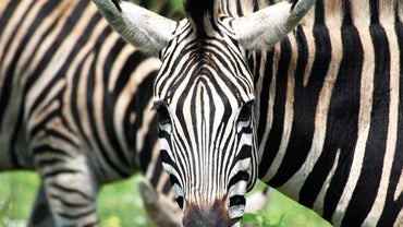 How Many Stripes Does a Zebra Have?