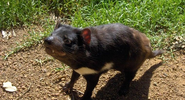 many-tasmanian-devils-left