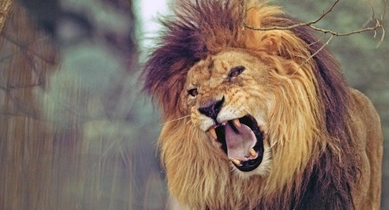 many-teeth-lion