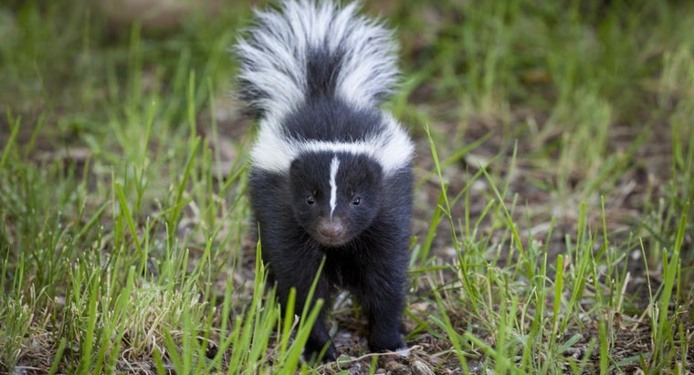 many-times-can-skunk-spray
