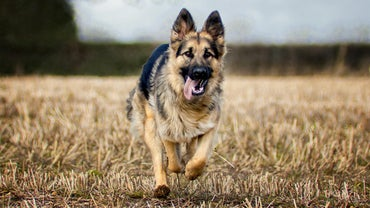 How Many Types of German Shepherds Exist in the World?