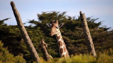 How Many Vertebrae Does a Giraffe Have?