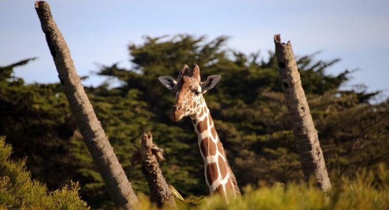 many-vertebrae-giraffe