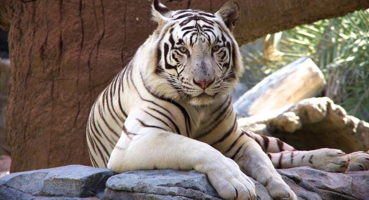 many-white-tigers-left-world