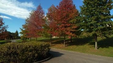 Where Do Maple Trees Grow?