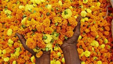 Do Marigolds Keep Bugs Away?