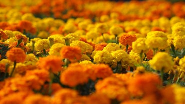 Are Marigolds Poisonous?