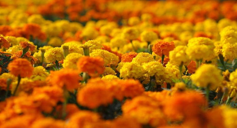 marigolds-poisonous