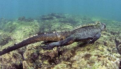 How Do Marine Iguanas Remove Salt From Their Bodies?