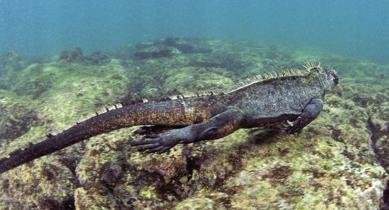 marine-iguanas-remove-salt-bodies