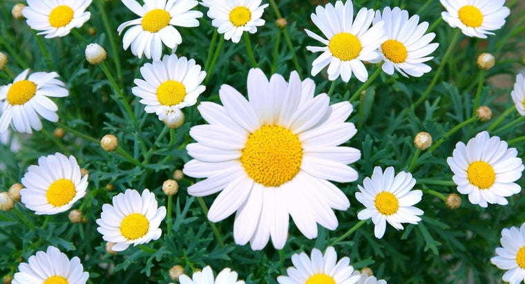 meaning-behind-daisy-flowers