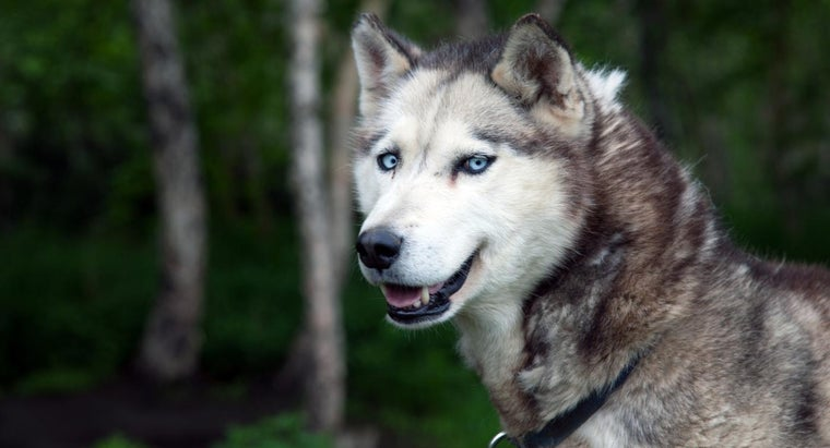 meanings-names-siberian-husky