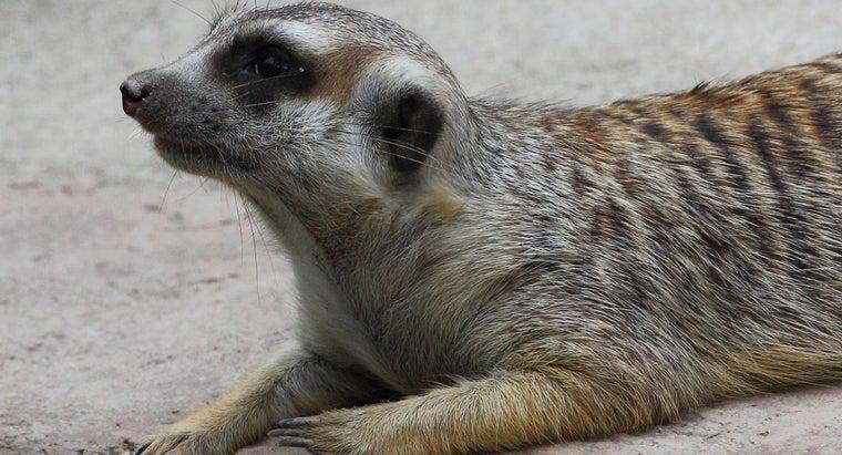 meerkats-live