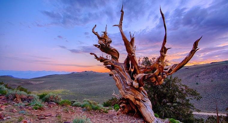 methuselah-tree