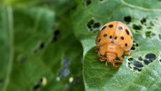 Do Mexican Bean Beetles Only Feed on Beans?