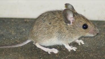 Do Mice Have Bones?