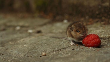 Are Mice Carnivores or Herbivores?