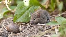 Where Do Mice Live?