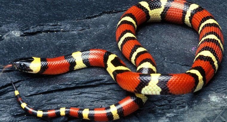 milk-snakes-poisonous