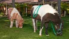 Where Do Mini Horses Work for the Sheriff's Department?