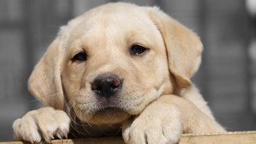 Do Mini Labradors Exist in Nature?
