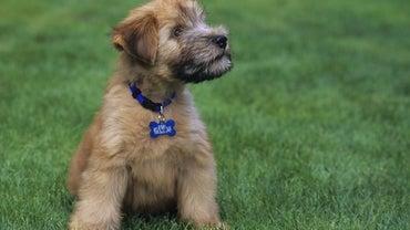 What Do Mini Wheaten Terrier Puppies Look Like?
