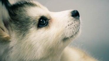 What Is a Miniature Husky?