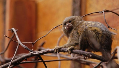 What Are Miniature Monkeys?