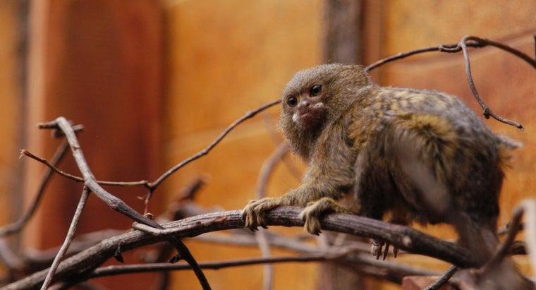 miniature-monkeys