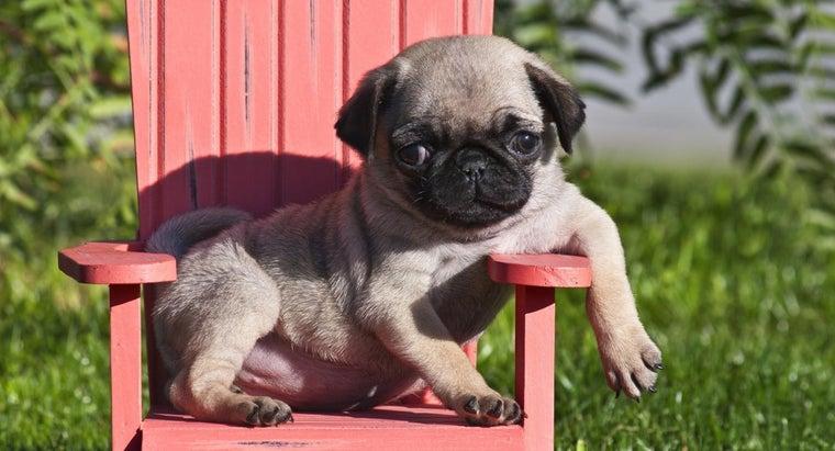 miniature-pug