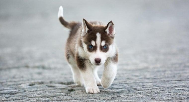 miniature-siberian-husky-puppies