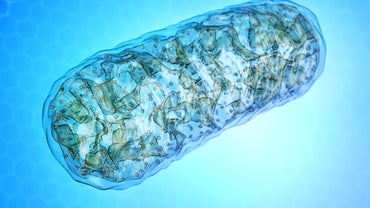 Why Is the Mitochondria Called the Powerhouse of the Cell?